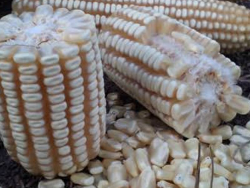 Instalarán acopio de maíz y frijol en Tuxpan