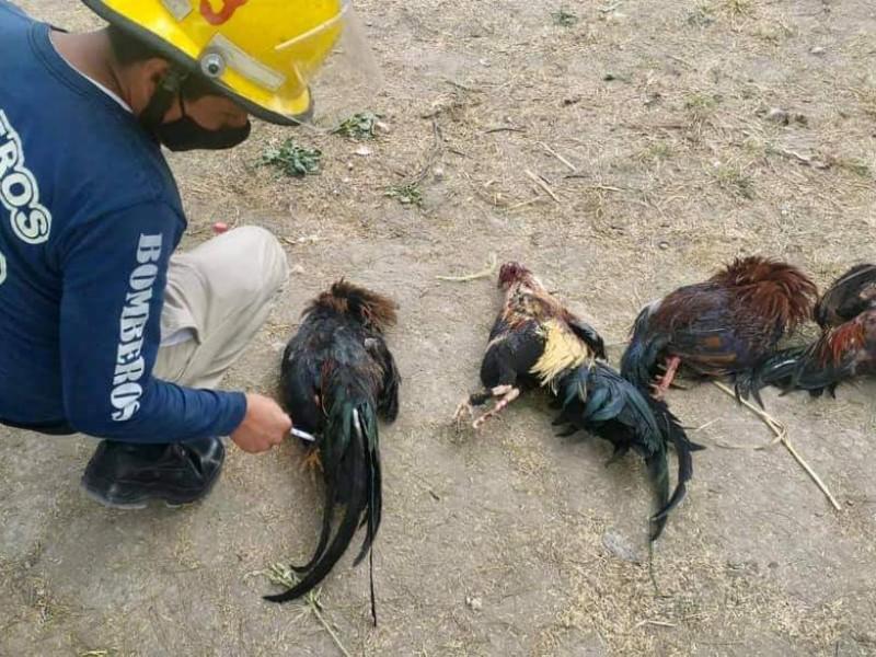 Interrumpen pelea de gallos en Santa María Coapan