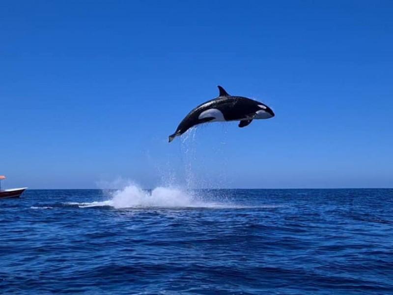 Investigadores llaman a realizar buenas prácticas durante avistamiento de orcas