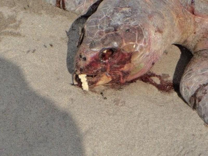 Investigan muerte de 122 tortugas golfinas