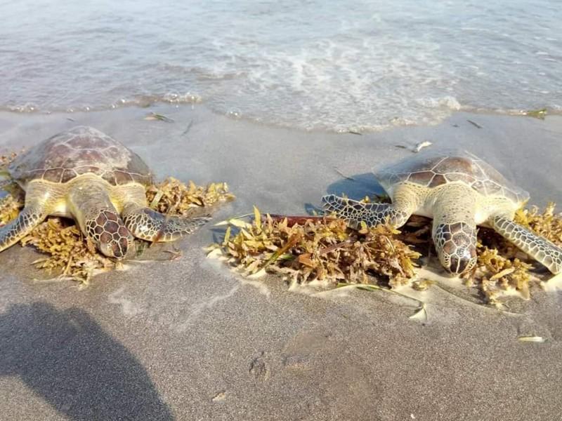 Investigan muerte de tortugas en playas de Alvarado