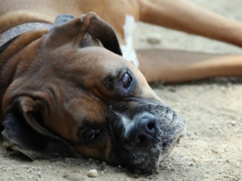 Invitan a prevenir la influenza canina con vacuna