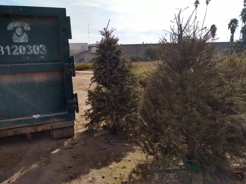 Invitan a reciclar pinos navideños