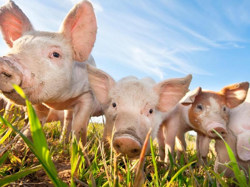 La peste porcina amenaza con extenderse