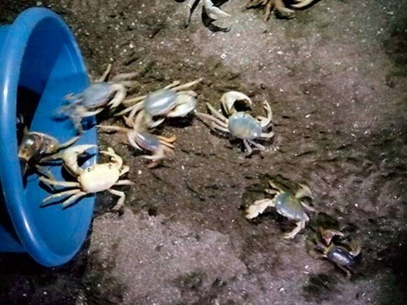 La veda es insuficiente para la protección del Cangrejo Azul