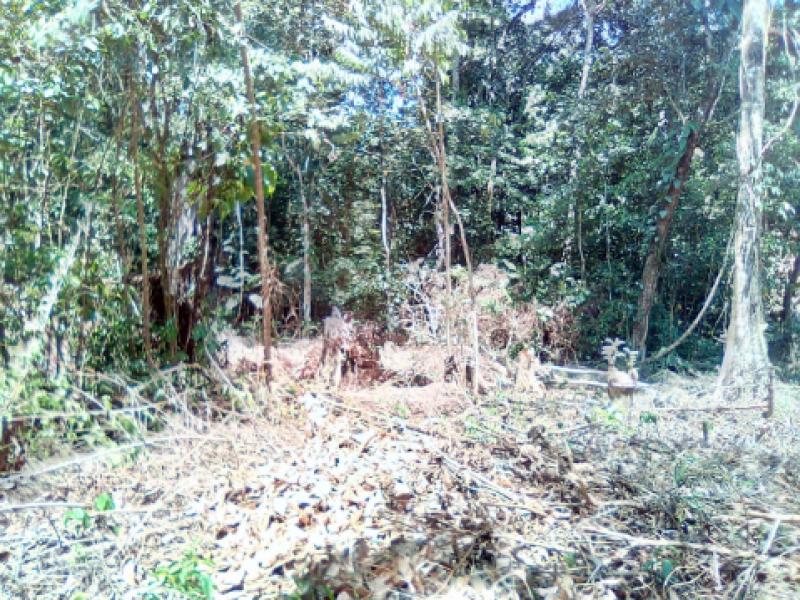 Lacandones derrumban 400  hectáreas de Montes azules para sembrar