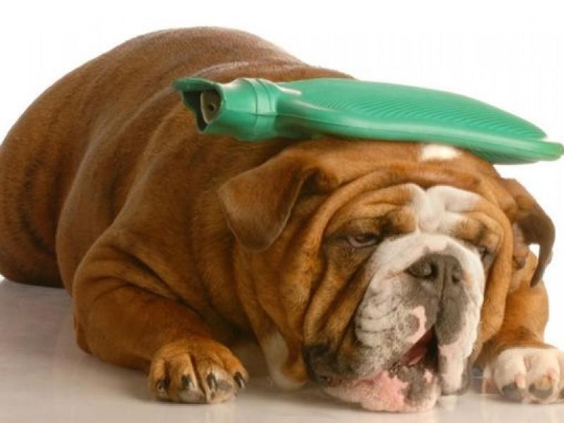 Las mascotas también pueden sufrir golpe de calor