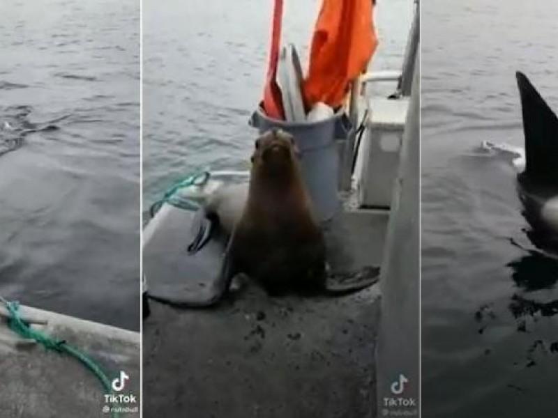 León marino sube a barco para protegerse de unas orcas