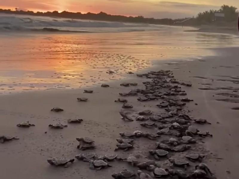 Liberan cientos de tortugas en San Blas