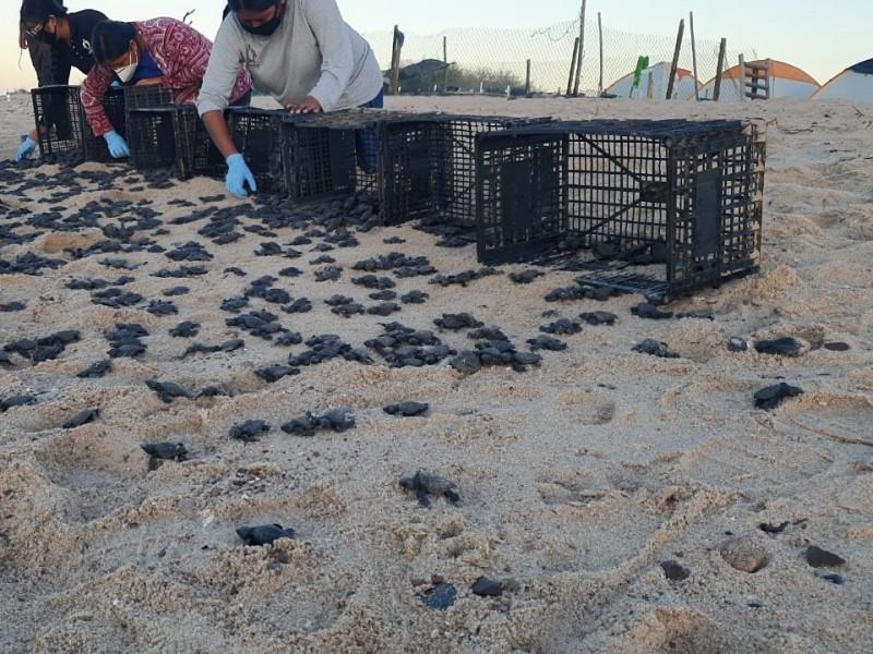 Liberan más de mil tortugas en playa de Desemboque