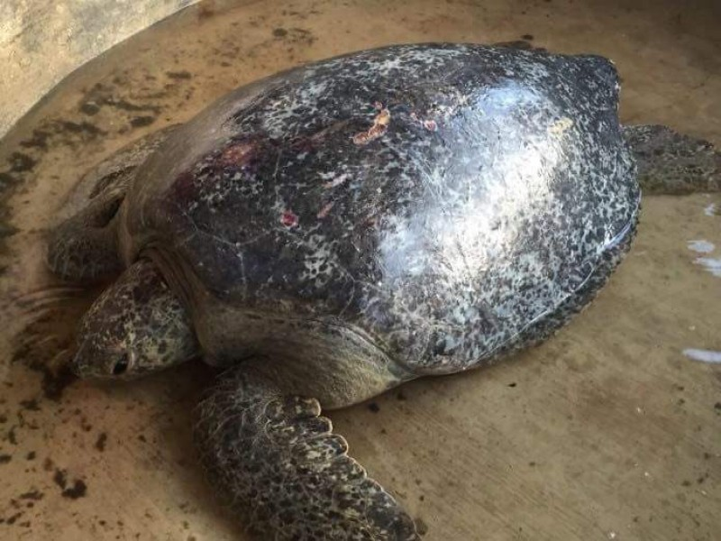 Liberan tortuga rescatada:SEMAHN