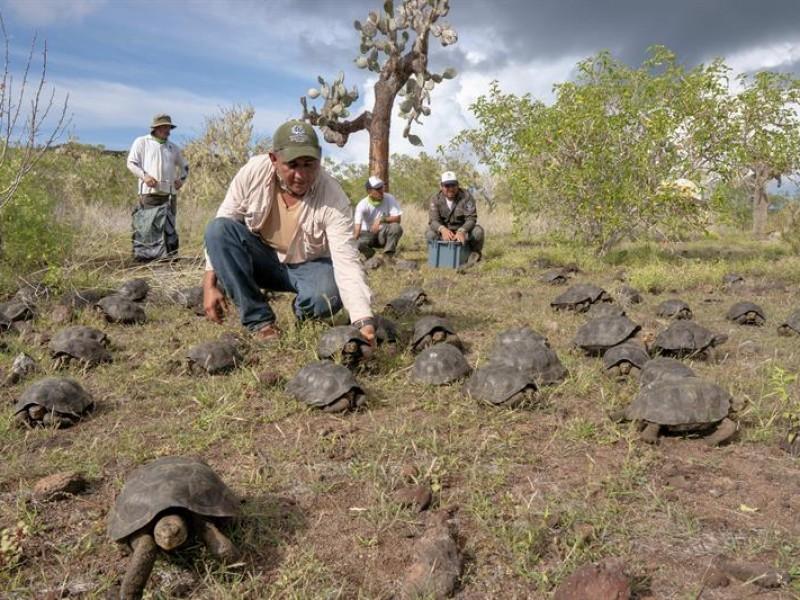 Liberan tortugas protegidas en Galápagos