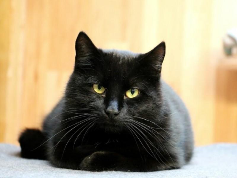Llaman asociaciones a no dar en adopción a gatos negros