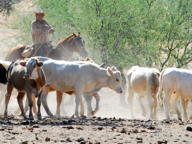 Llegan apoyos para ganaderos en la Región del Mayo