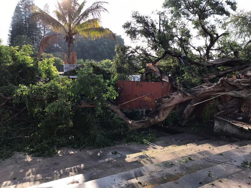 Lluvia provoca caída  de higuera en colonia Morelos