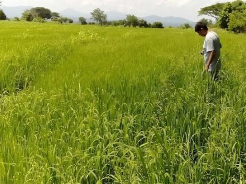 Lluvias beneficiarán cultivos de la zona sur de Nayarit