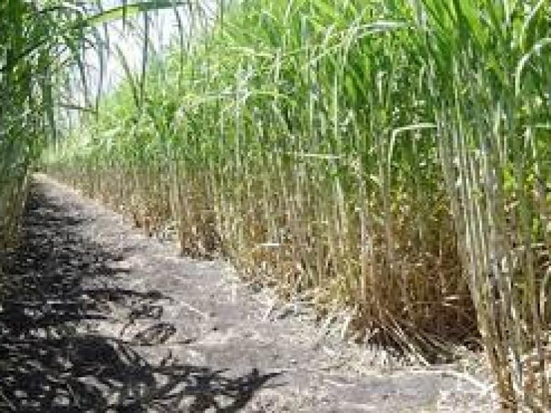 Lluvias incrementarán producción de Caña