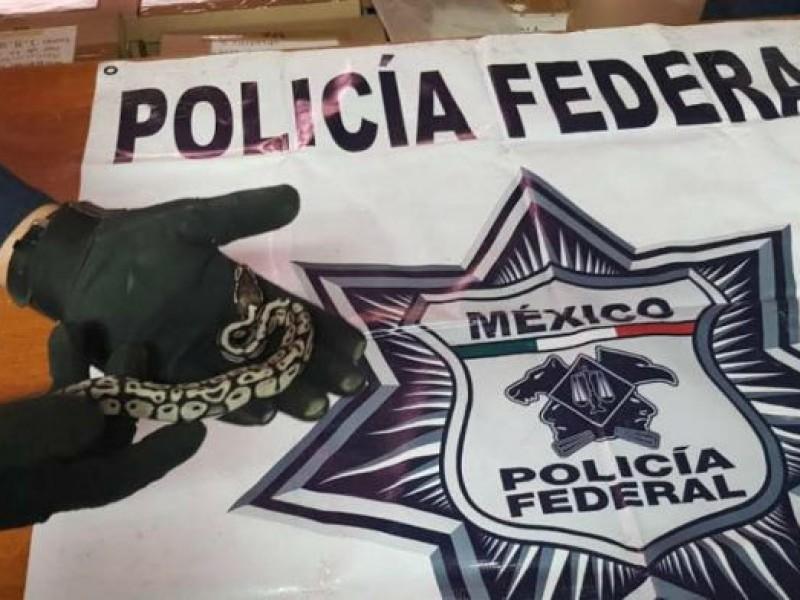 Localizan a serpiente pitón en mensajería de Azcapotzalco
