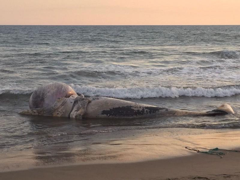 Localizan ballena muerta en playas de Mazatlán