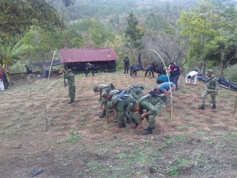 Destruyen plantío de marihuana en Huixtán