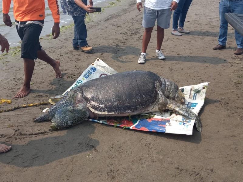 Localizan tortuga muerta en playa de Boca del Río