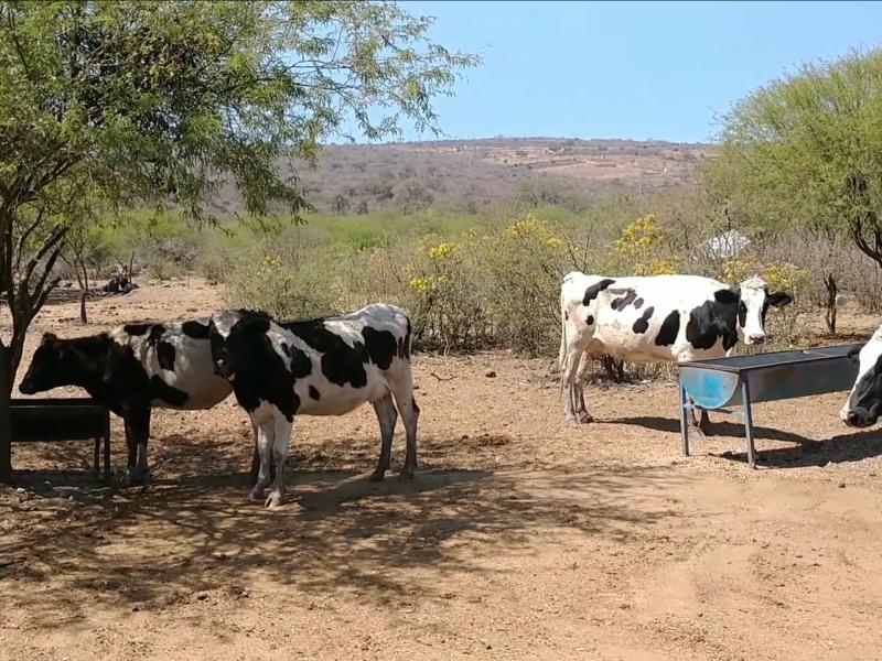 Mala temporada para ganadería en la Ciénega