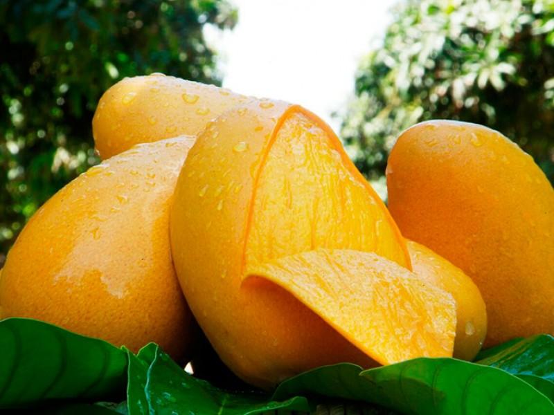 Mango orgánico chiapaneco es de exportación