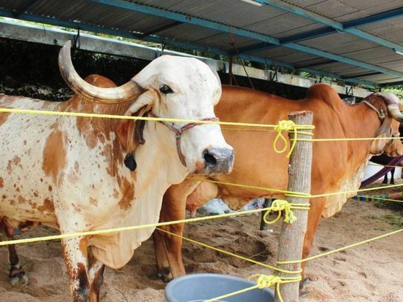 Mapastepec importante productor de leche en Chiapas