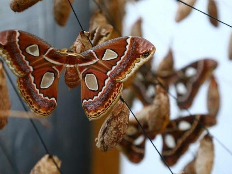 Mariposa 4 espejos en riesgo de desaparecer