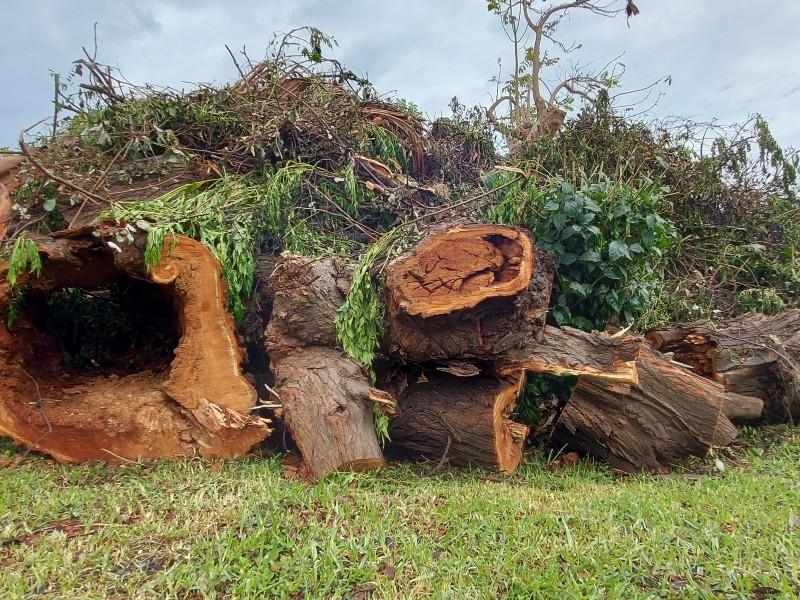 Más de 100 árboles en riesgo de caída en Tepic