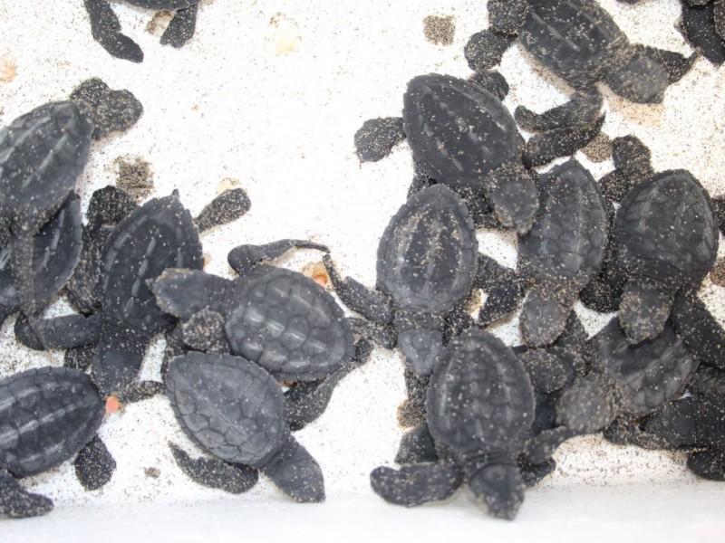 Más de 2 mil nidos de tortugas rescatados