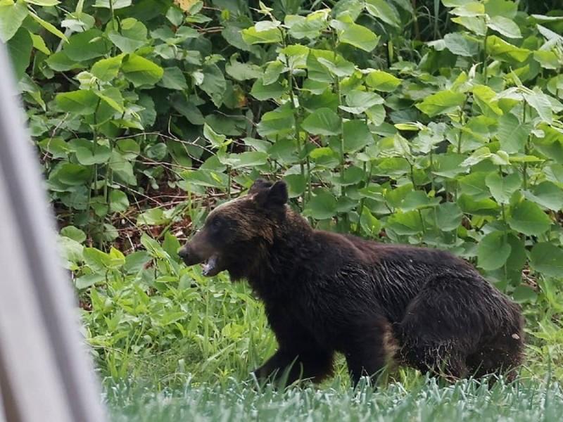 Matan a oso que atacó a cuatro personas en Japón