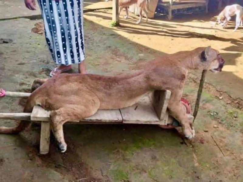 Matan a un puma en Chiapas; cazador opera con impunidad