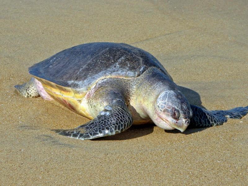 Mazatán por la conservación de la tortuga golfina