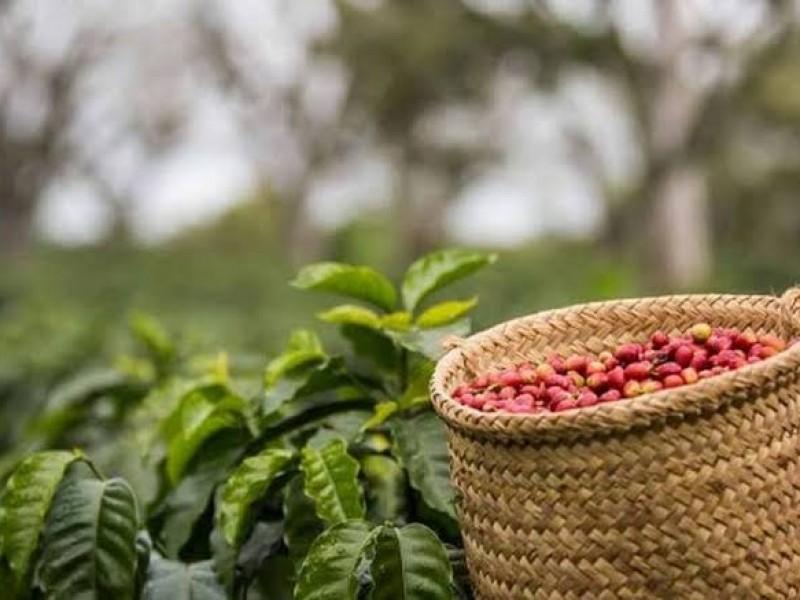 Mejora Nayarit rendimiento productivo de café y caña