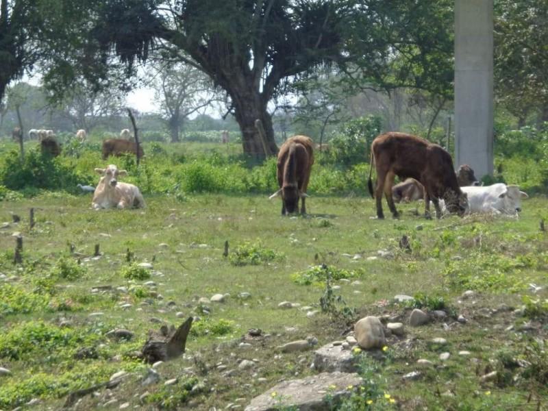 Mejora panorama para ganaderos del valle del mayo