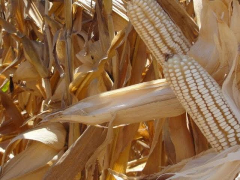 México importa el 38% del maíz que consume