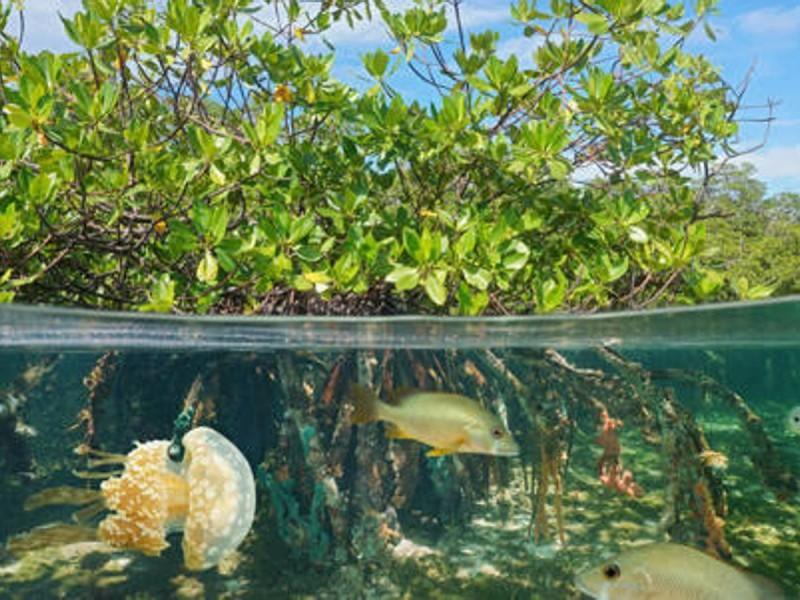 Mitigar contaminación con manglares: Tamaulipas