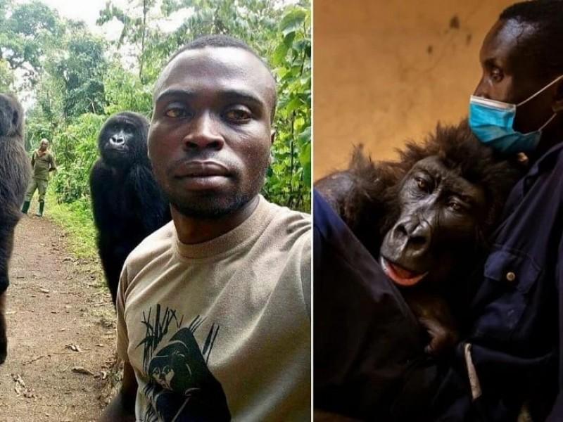 Muere famosa gorila en brazos del cuidador que la rescató