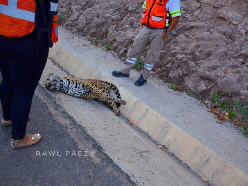 Muere jaguar en la autopista Tepic San Blas