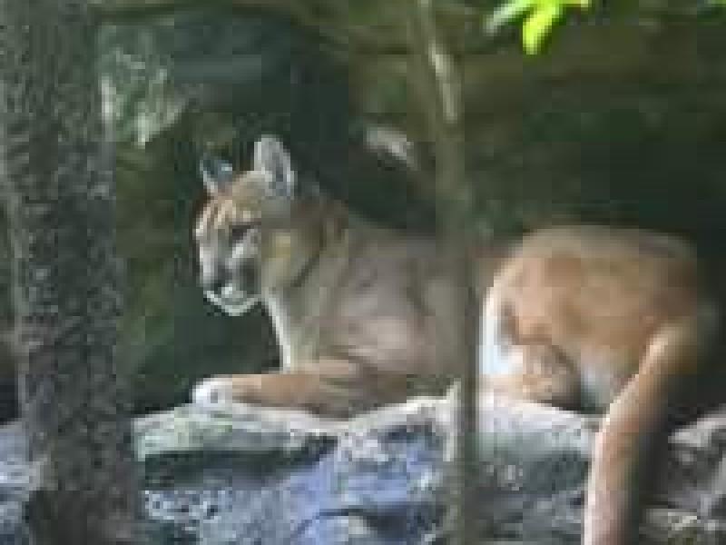 Muere Puma del Zoomat