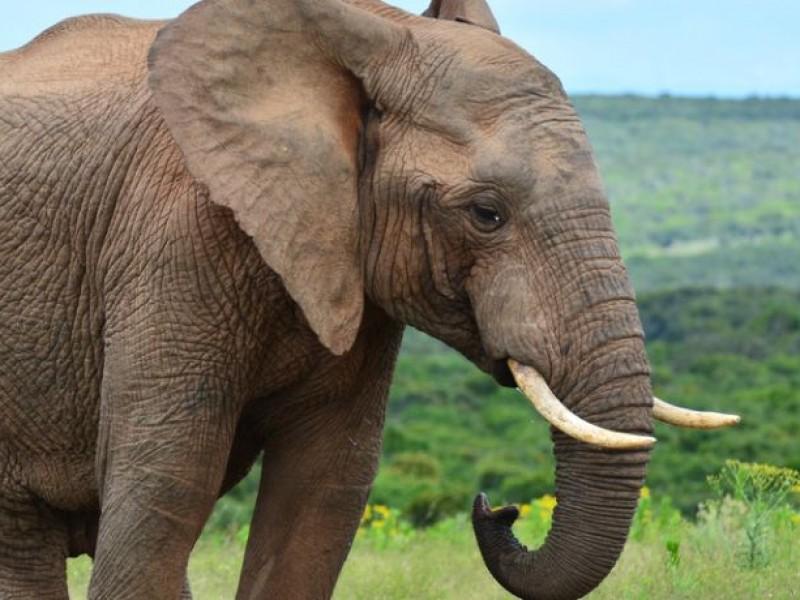 Muere turista tras ser atacada por un elefante