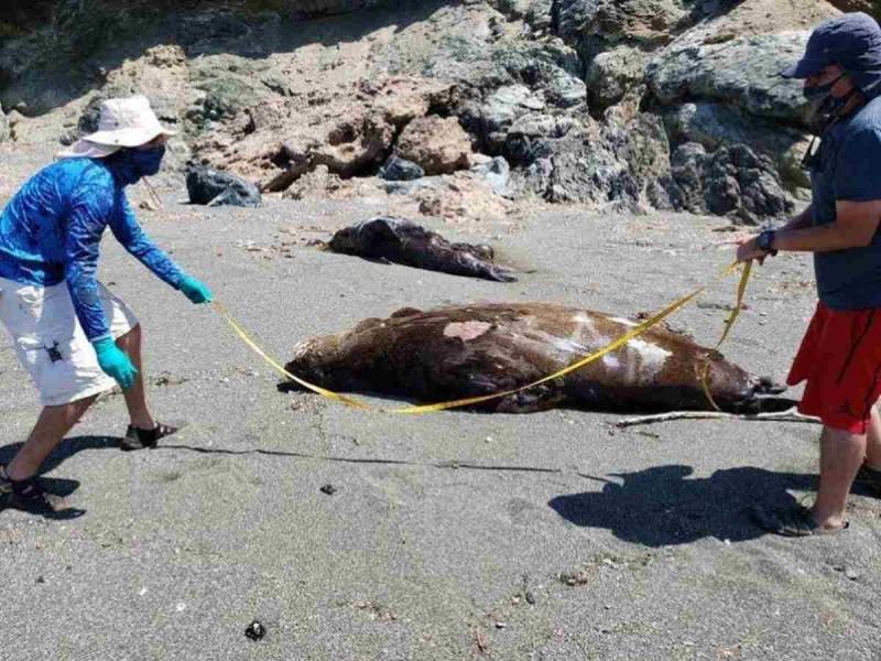 Mueren 137 lobos marinos en BCS por marea roja