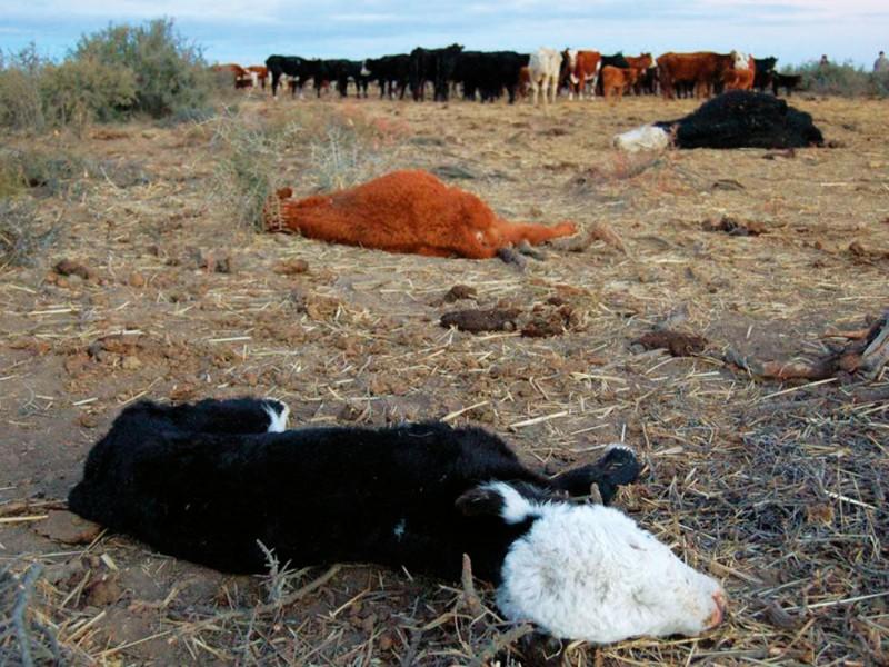 Mueren 600 mil cabezas de ganado en Sonora por sequía