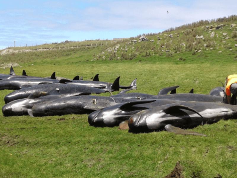 Mueren otras 51 ballenas en Nueva Zelanda