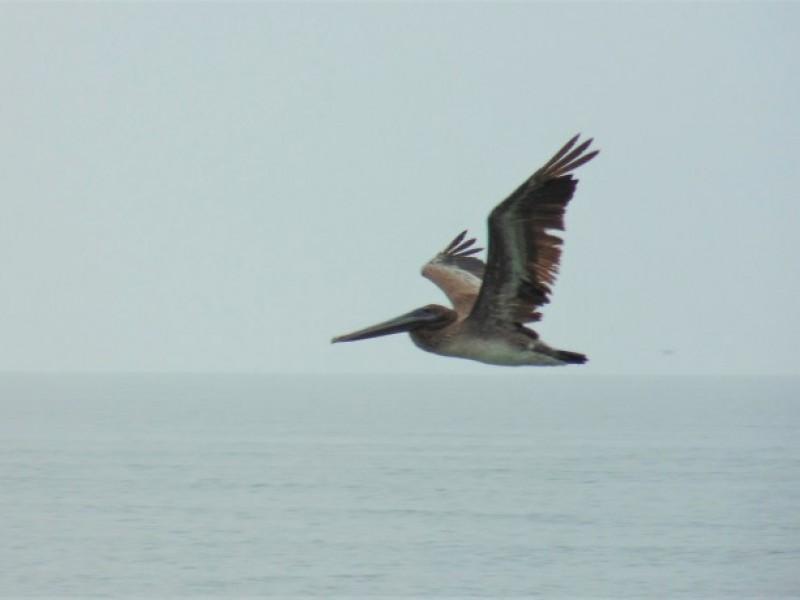 Mueren pelicanos pardo en redes de pesca en Sonora