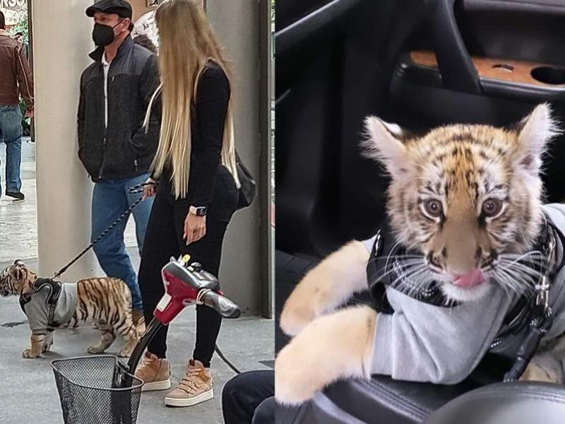 Mujer pasea a un tigre en centro comercial Antara