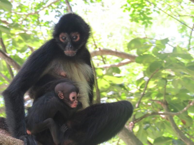 Nace cría de mono araña en el Cañón