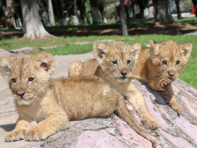 Nace nueva camada de leones africanos en Zoológico La Encantada