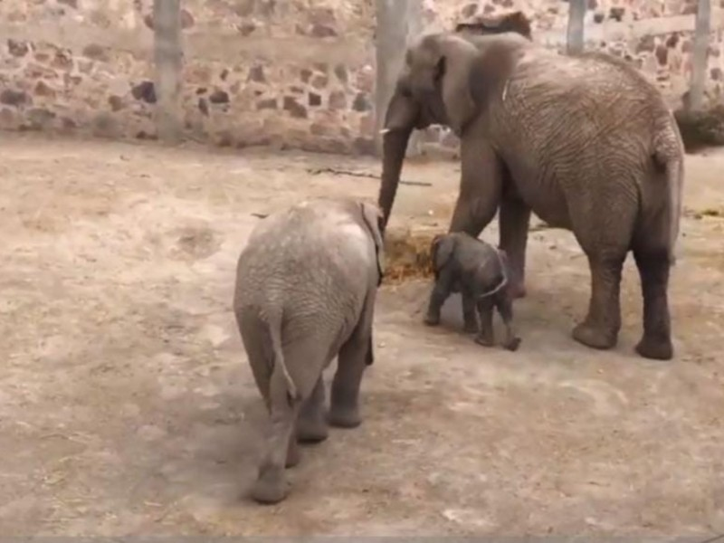 Nace un bebé elefante en la reapertura de Africam Safari